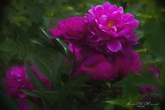 Beauty in The garden (Lindaw9) Tags: peony foliage colours my garden july flowers macro northern ontario summerof2019