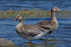 Гуменник, Anser fabalis fabalis, Bean Goose, Белолобый гусь, Anser albifrons albifrons, Greater White-fronted Goose (Oleg Nomad) Tags: белолобыйгусь anseralbifronsalbifrons greaterwhitefrontedgoose гуменник anserfabalisfabalis beangoose птицы москва bird aves moscow