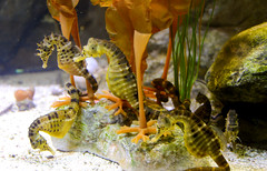 Seahorse (Hippocampus) (Seventh Heaven Photography) Tags: seahorse animal hippocampus water underwater aquarium syngnathidae chester zoo cheshire england nikond3200