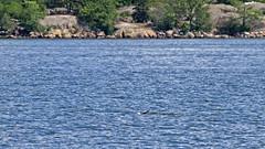 Halichoerus grypus - a grey seal (or at least the tail of one...) in the bay Lilla Värtan in Stockholm, in the background is the island Stora Fjäderholmen (Franz Airiman) Tags: halichoerusgrypus säl seal sälis sälx grayseal greyseal animal djur stockholm sweden scandinavia wild vild vattendjur mammal watermammal däggdjur vattendäggdjur gråsäl bay fjärd lillavärtan