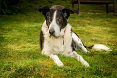 Zac with fill-in flash (grahamrobb888) Tags: zac dog pet animal mammal garden homegarden birnam birnamwood grass d500 nikond500 nikon nikkor 1755f18dx nikkor1755mmf18dx dx dxlens speedlight flash sb700