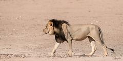 A black-maned King! (Jambo53 ()) Tags: crobertkok kgalagaditransfrontierpark southafrica nikond800 500mmf4 kgalagadi