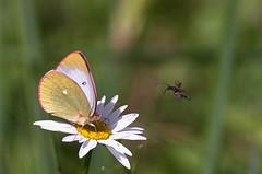 Raba-võiliblikas; Colias palaeno; Moorland Clouded Yellow (urmas ojango) Tags: lepidoptera liblikalised insecta putukad insects butterfly põualibliklased pieridae rabavõiliblikas coliaspalaeno moorlandcloudedyellow