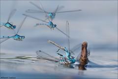 Fight Club: Damselfly Edition! (Daniel Cadieux) Tags: damselfly damselflies fight battle royalrumble fly flying insect