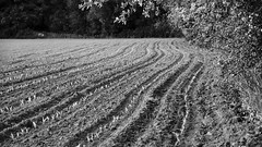 PWK-2019-May-30-0025-Wallpaper _5 (PhrozenTime/WAHLBRINKPhoto) Tags: agriculture crop corn newlyplanted shoots rows plowed bw blackandwhite bnw rural farming farm food field plant sunset nature landscape green outdoor environment country cornfield healthy fresh young life scene land farmland leaf spring soil background plow sky brown row crops earth agricultural countryside tillage plowing agribusiness furrows ploughed planting agronomy texture plough dirt ground line baindebretagne illeetvilaine35 france