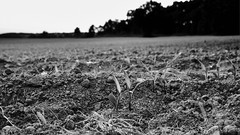 PWK-2019-May-30-0021-Wallpaper _2 1 (PhrozenTime/WAHLBRINKPhoto) Tags: agriculture crop corn plowed rows shoots newlyplanted rural farming farm food field plant sunset nature landscape green outdoor environment country cornfield healthy fresh young life scene land farmland leaf spring soil background plow sky brown row crops earth agricultural countryside tillage plowing agribusiness furrows ploughed planting agronomy texture plough dirt ground line baindebretagne illeetvilaine35 france