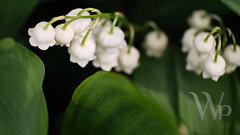 PWK-Glimpses from the Garden2019-May-01-0034-Wallpaper _2 (PhrozenTime/WAHLBRINKPhoto) Tags: 16mmtube closeup macro plant flower convallariamajalis lilyofthevalley baindebretagne illeetvilaine35 france
