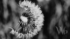 PWK-Photowalk-2019-Apr-08-0046-Wallpaper _4 (PhrozenTime/WAHLBRINKPhoto) Tags: macro flower dandelion plant bush shrub baindebretagne illeetvilaine35 france
