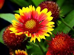 1063ex  blanket flower (jjjj56cp) Tags: flower flowers blossoms blooms bright vivid colorful red yellow summer june garden blanketflowers gaillardia contrast p1000 coolpixp1000 nikoncoolpixp1000 jennypansing