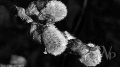 PWK-Photowalk-2019-Apr-17-0059-Wallpaper _3 (PhrozenTime/WAHLBRINKPhoto) Tags: 16mmtube plant flower bush shrub salixcinereasubspoleifolia pussywillow baindebretagne illeetvilaine35 france