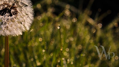 PWK-Photowalk-2019-Mar-31-0018-Wallpaper _7 1 (PhrozenTime/WAHLBRINKPhoto) Tags: biology plant weed flower taraxacumofficinale dandelion baindebretagne illeetvilaine35 france