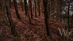 PWK-Photowalk-2019-Apr-08-0074-Wallpaper _4 1 (PhrozenTime/WAHLBRINKPhoto) Tags: biology plant tree conifer evergreen pine pinuspinaster maritimepine baindebretagne illeetvilaine35 france