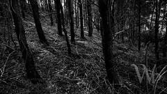 PWK-Photowalk-2019-Apr-08-0074-Wallpaper _5 (PhrozenTime/WAHLBRINKPhoto) Tags: bw blackandwhite bnw nb forest biology plant tree conifer evergreen pine underbrush baindebretagne illeetvilaine35 france