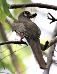 Elegant Trogon [Coppery-tailed] (Trogon elegans canescens) 06-07-2019 Cave Creek Canyon--South Fork, Cochise Co AZ 4 (Birder20714) Tags: birds arizona trogons trogonidae trogon elegans canescens