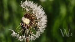 PWK-Photowalk-2019-Apr-08-0046-Wallpaper _5 (PhrozenTime/WAHLBRINKPhoto) Tags: dandelion flower macro plant bush shrub baindebretagne illeetvilaine35 france