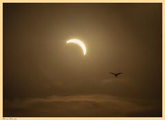 _MG_8420 (Jerseket) Tags: sun sol atardecer sunset sunlight venadotuerto argentina santafe solar solareclipse eclipse eclipsetotal total canont3i canon astronomy astronomía astrophotography staradventurer sigma sigmalens ave chimango bird