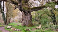 PWK-DWW14-2019-Apr-06-0020-Wallpaper _6 (PhrozenTime/WAHLBRINKPhoto) Tags: wahlbrink plant tree deciduous quercuspetraea sessileoak landmark baindebretagne illeetvilaine35 france