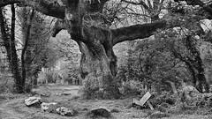 PWK-DWW14-2019-Apr-06-0020-Wallpaper _7 (PhrozenTime/WAHLBRINKPhoto) Tags: wahlbrink plant tree deciduous quercuspetraea sessileoak landmark bw blackandwhite bnw nb baindebretagne illeetvilaine35 france