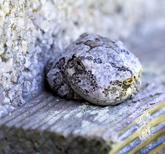Eastern Grey Tree Frog in Camouflage (arlene sopranzetti) Tags: eastern grey tree frog new jersey buena pine barrens