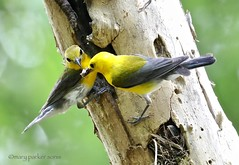 Prothonotary Warbler (Mary Sonis) Tags: prothonotary warbler bird nestling migration swamp nest cavity north carolina parenting snag wildlife