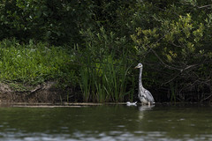 Heron and his feather (Chipyluna) Tags: heron waterfowl feather water lake bird yellow white sunny nature green trees plants nikon nikond5600 d5600 sigma eastsussex hampdenpark shinewaterlake shinewater eastbourne
