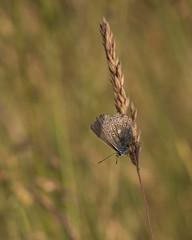 Hay Meadow (thethoughtbadger) Tags: commonblue nationalmeadowsday shadowbrookmeadows warwickshirewildlifetrust naturereserve naturepoetry