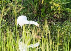 Snowy Egret (dbking2162) Tags: wildlife water wading shore snowy egrets snowyegret herons florida fortmyersbeach birds bird beautiful beauty explore eyes green animal