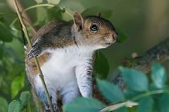 Grey squirrel (pstani) Tags: england essex europe greatbritain sciuruscarolinensis walton waltononthenaze woodberryway animal fauna greysquirrel squirrel