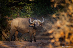 Cape Buffalo (leendert3) Tags: leonmolenaar southafrica krugernationalpark wildlife wilderness wildanimal nature naturereserve naturalhabitat mammal capebuffalo ngc