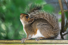 Grey squirrel (pstani) Tags: england essex europe greatbritain sciuruscarolinensis walton waltononthenaze woodberryway animal fauna greysquirrel squirrel