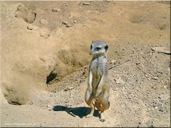 Zoo Frankfurt - Erdmännchen (meerkats) (Jorbasa) Tags: jorbasa hessen wetterau germany deutschland geotag tier animal erdmännchen frankfurt zoo zoofrankfurt frankfurtammain meerkats säugetier mangusten