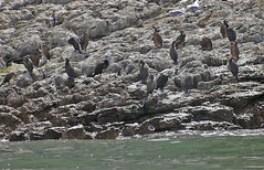 Cormorants on Puffin Island (Gill Stafford) Tags: gillstafford gillys image photograph wales northwales anglesey puffinisland cormorant birds sea rocks protectedspecies