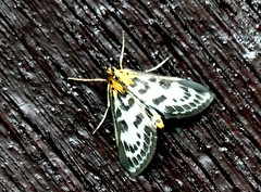 Small Magpie (micro) 26.6.19 (ericy202) Tags: small magpie moth titchwell rspb