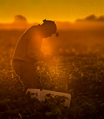 The Harvest (mikeSF_) Tags: farm farming harvest green bean greenbeans sunrise sunset mikeoria mikeoriaphotography wwwmikeoriacom pentax pentax645z 645 600mm a600 laborer field worker picking outdoor agriculture