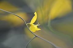 Brown (pasquale di marzo) Tags: flower fiore ginestra esterno colore macro