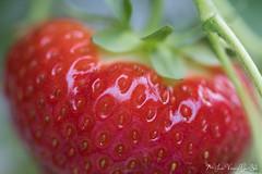 DN9A7815 (Josette Veltman) Tags: aardbeien ijsselmuiden kalter photowalk overijssel