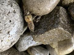 Been (tilbuer) Tags: iphonexs iphone fribourg freiburg schweiz switzerland tier animal insekte stein stone biene been