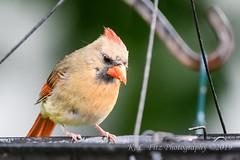 Lady Cardinal (kevnkc2) Tags: stdntsdoncooper lightroom pennsylvania spring chambersburg franklin county bird nikon d500 sigma 150600mm f563 contemporary