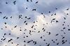Aves en el Lago de Zumpango. / Birds over Zumpango Lake (israelfotomx) Tags: parvada flock birds aves pajaros cielo nubes zumpango estadodemexico lago laguna lake mexico