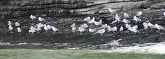 A gatheroing of gulls (Gill Stafford) Tags: gillstafford wales anglesey puffinisland gulls sea birds