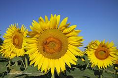 Estate!-Summer-Été-Sommer-Verano (francescociccotti1) Tags: girasoli panorami colori giallo azzurro estate sole