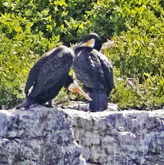 The Cormorants (Gill Stafford) Tags: gilldstafford image photograph wales puffinisland anglesey cormorant bird protectedspecies rspb