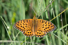 Dark Green Fritillary (Tim Melling) Tags: argynnis aglaja aglaia mesoacidalia dark green fritillary butterfly male north yorkshire moors timmelling