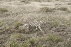 Cheetah (rwoan) Tags: simiyuregion tanzania