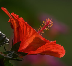 Translucent (gary_photog) Tags: fantasticnature nikonz7 red hibiscus translucent bokeh