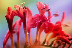 Dancing queens (for Pride) (Barrie T) Tags: pride crocosmia flower raindrops waterdrops macro rainbowcolours home garden colour