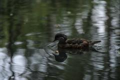 Mandarin drake in eclipse plumage (PChamaeleoMH) Tags: barnes birds london wwt wwtbarnes wetlandcentre mandarinducks drake eclipse plumage