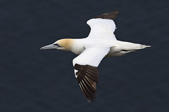 Gannet (JaneTurner68) Tags: gannet seabird bird trouphead aberdeen scottishhighlands scotland canon1dmkiv canon100400mmmkiilens canon
