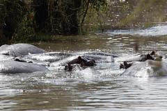 Hippo (rwoan) Tags: simiyuregion tanzania