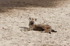 Hyena (rwoan) Tags: simiyuregion tanzania